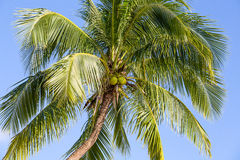 Coconut palm tree Royalty Free Stock Image