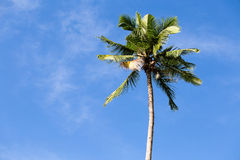 Coconut palm tree Stock Images