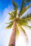 Coconut Palm tree on the sandy beach background Royalty Free Stock Images