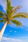 Coconut Palm tree on the sandy beach background Royalty Free Stock Image