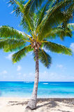 Coconut Palm tree on the sandy beach in Hawaii Stock Image