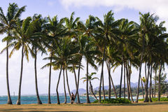 Coconut Palm tree on the sandy beach in Kapaa Hawaii, Kauai Stock Photos