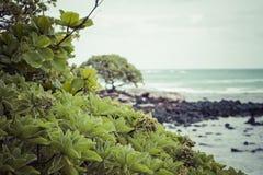 Coconut Palm tree on the sandy beach in Kapaa Hawaii, Kauai Stock Photo