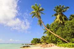 Coconut Palm tree on the sandy beach in Mahe island, Seychelles Stock Image