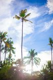 Coconut Palm tree on the sandy beach in Royalty Free Stock Photos
