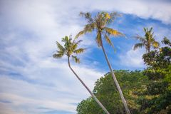 Coconut Palm tree on the sandy beach in Stock Photo