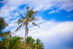 Coconut Palm tree on the sandy beach in Stock Images