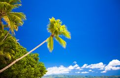 Coconut Palm tree on the sandy beach in Royalty Free Stock Images