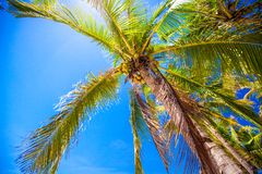 Coconut Palm tree on the sandy beach Royalty Free Stock Image