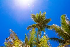Coconut Palm tree on the sandy beach in Seyshelles Stock Photography