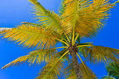 Coconut Palm Tree at the Sky, Dominican Republic Royalty Free Stock Image
