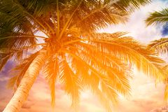 Coconut palm tree and sky on tropical beach at summer time. Warm tones stock photo