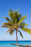Coconut palm tree, Grand Turk, Turks and Caicos Stock Images