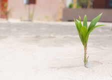 Coconut palm tree sprout with the green leaves growing from the nut on the white sand beach with copy space. Coconut palm tree sprout with the green leaves Royalty Free Stock Photo