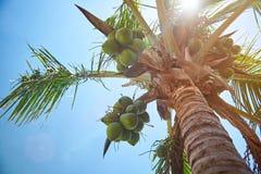Coconut palm tree on sun light. On blue summer sky Royalty Free Stock Photography