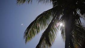 Coconut palm tree stock video