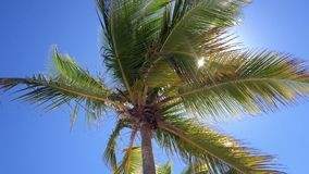 Coconut palm tree stock video