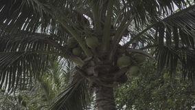 Coconut palm tree swaying with the wind stock video