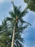 Coconut palm tree in Thailand stock photography