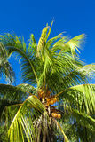 Coconut palm tree in tropic Stock Images