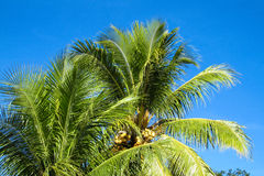 Coconut palm tree in tropic Stock Photos