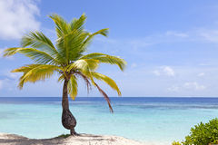 Coconut palm tree on tropical beach Royalty Free Stock Photos