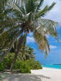 Coconut palm tree on tropical beach. Coconut palm tree on a beautiful tropical beach Royalty Free Stock Image