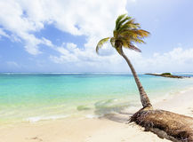 Coconut palm tree at tropical beach. Palm tree at Caribbean Sea beach Stock Images