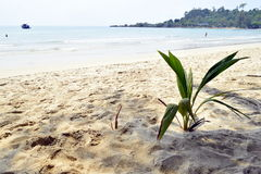 Coconut palm tree. On the tropical beach of Chang island Stock Photos