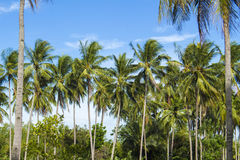 Coconut palm tree on tropical island. Bright blue sky background. Stock Images