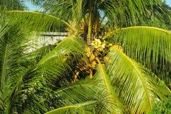 Coconut palm tree in tropics Stock Photography