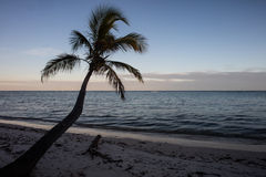 Coconut Palm Tree in Tropics Royalty Free Stock Image