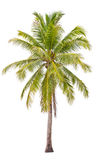 Coconut palm tree. Stock Images
