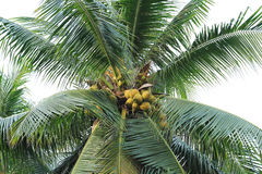 Coconut palm tree Stock Image
