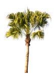 Coconut palm tree on white background Stock Photo