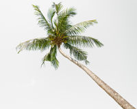 A coconut palm tree on white background Royalty Free Stock Images