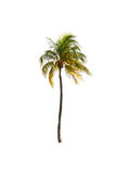Coconut palm tree on white isolated background with clipping pat Stock Photo