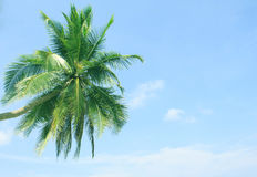 Coconut Palm tree. On the white sandy beach Stock Images