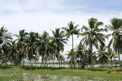 Coconut palm trees. Row of coconut palm trees growing side by the lake, india Stock Images