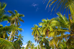 Coconut palm trees Royalty Free Stock Photos