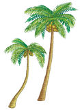 Coconut palm trees. Coconut palm trees, high with green leaves. Fruits hang Stock Image