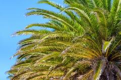 Coconut palm trees against blue sky. Detail shot Stock Photos