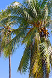 Coconut palm trees against blue sky. Royalty Free Stock Photo
