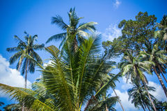 Coconut palm trees against blue sky. Thailand Stock Photography