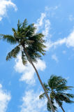 Coconut palm trees against blue sky Stock Images