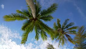 Coconut palm trees against blue sky stock video