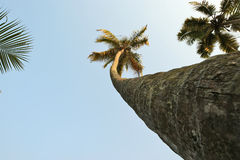 Coconut palm trees against the sky Stock Photo