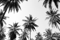 Coconut palm trees Stock Images