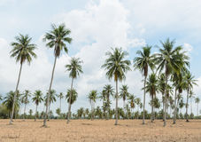 Coconut Palm Trees And Cassava Plantation Royalty Free Stock Images