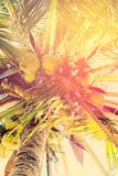 Coconut Palm Trees, as Background Royalty Free Stock Photo